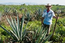 Man in agave field in Tequila, Mexico