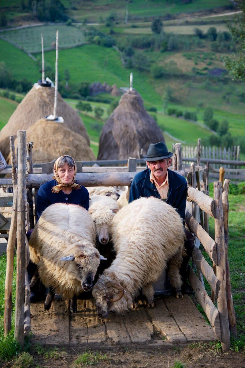 Dinu and Ileana Milking Sheep in Sheep Fold near Sibiu, in Transylvania, Romania by Ralph Velasco