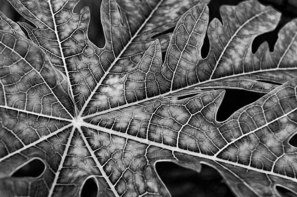 Plant leaf image in black and white in Nik Silver Efex Pro 2 - Urique, Mexico by Ralph Velasco